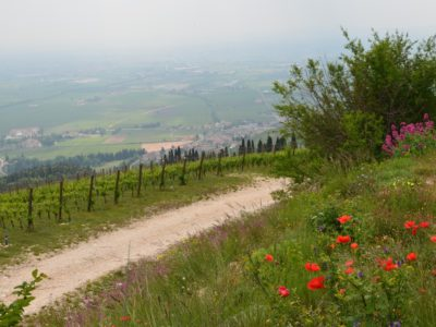 The distinctive wines of Valpolicella